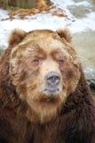 Het portret van de grizzly Stock Afbeeldingen