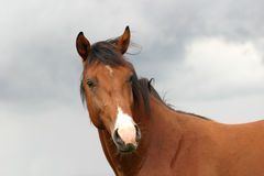 Het portret van de hengst Royalty-vrije Stock Afbeeldingen