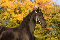 Het portret van de herfst van friesian paard Stock Afbeeldingen