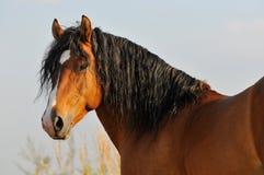 Het portret van de het paardhengst van de baai Stock Foto
