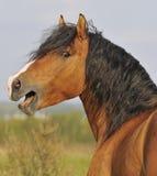 Het portret van de het paardhengst van de baai Royalty-vrije Stock Afbeeldingen
