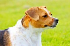 Het portret van de hond Stock Afbeeldingen