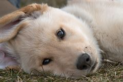 Het Portret van de hond stock afbeelding