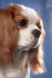 Het portret van de hond op blauw Stock Afbeeldingen