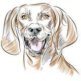 Het Portret van de Hond van Coonhound van Redbone Stock Foto