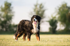 Het portret van de Hond van de Berg van Bernese stock foto