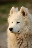 Het Portret van de Hond van Samojed Royalty-vrije Stock Foto's