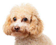 Het portret van de hondpoedel royalty-vrije stock foto's