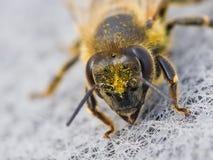 Het portret van de honingbij stock afbeelding