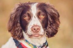 Het portret van de huisdierenhond Stock Afbeeldingen
