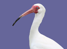 Het portret van de ibis Stock Foto