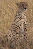 Het Portret van de jachtluipaard royalty-vrije stock afbeeldingen