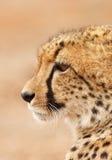 Het portret van de jachtluipaard stock fotografie