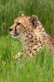 Het Portret van de jachtluipaard royalty-vrije stock foto