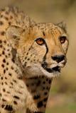Het portret van de jachtluipaard Stock Foto