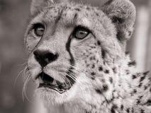 Het portret van de jachtluipaard Royalty-vrije Stock Foto's