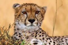 Het portret van de jachtluipaard, Masai Mara Stock Fotografie