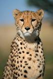 Het portret van de jachtluipaard, Zuid-Afrika Royalty-vrije Stock Afbeeldingen