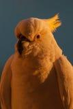 Het portret van de kaketoezonsopgang Stock Foto