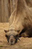 Het portret van de kameel Royalty-vrije Stock Afbeeldingen