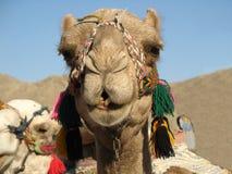 Het portret van de kameel Stock Afbeeldingen