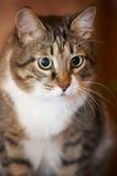 Het portret van de kat. Stock Afbeelding
