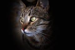Het portret van de kat Royalty-vrije Stock Foto's
