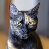 Het portret van de kat Royalty-vrije Stock Afbeeldingen
