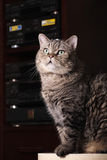 Het portret van de kat. royalty-vrije stock foto's