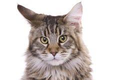 Het portret van de kat, de wasbeer van Maine Royalty-vrije Stock Foto's