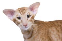 Het portret van de kat, Exotische shorthair Stock Foto