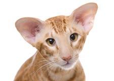 Het portret van de kat, Exotische shorthair Royalty-vrije Stock Fotografie