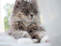 Het portret van de kat Mooi portret van een leuke, pluizige, charmante kat stock afbeelding