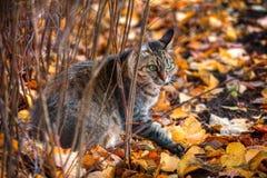 Het portret van de kat van de gestreepte kat in de herfst Royalty-vrije Stock Fotografie