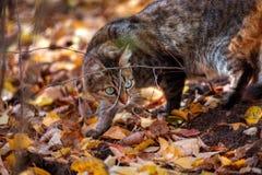 Het portret van de kat van de gestreepte kat in de herfst Royalty-vrije Stock Foto's