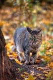Het portret van de kat van de gestreepte kat in de herfst Royalty-vrije Stock Afbeeldingen
