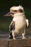 Het portret van de kookaburra Stock Foto's