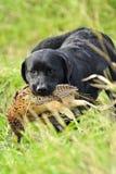 Het Portret van de labradorhond Stock Foto's