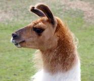 Het Portret van de lama stock afbeeldingen