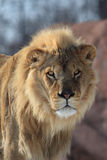 Het portret van de leeuw Royalty-vrije Stock Afbeelding