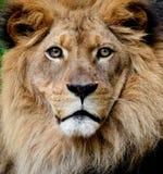 Het Portret van de leeuw Royalty-vrije Stock Foto