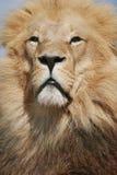 Het Portret van de leeuw stock foto's