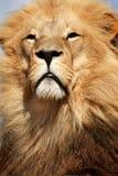 Het Portret van de leeuw Stock Foto