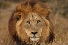 Het portret van de leeuw. stock foto