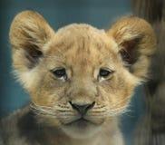 Het Portret van de Leeuw van de baby Stock Afbeelding