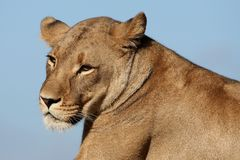 Het Portret van de leeuwin Stock Foto