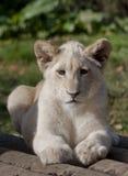 Het portret van de leeuwwelp Royalty-vrije Stock Fotografie