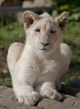 Het portret van de leeuwwelp Stock Foto's