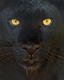 Het portret van de luipaard Stock Afbeelding