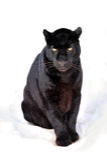 Het portret van de luipaard Royalty-vrije Stock Fotografie